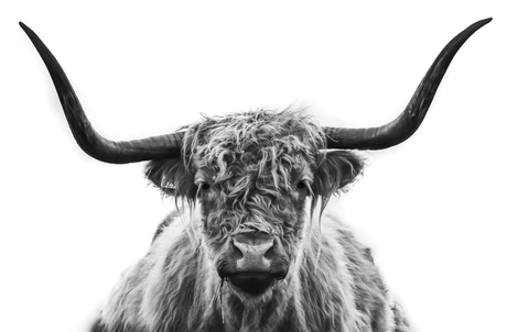 Zwart / wit portet van een Schotse Hooglander