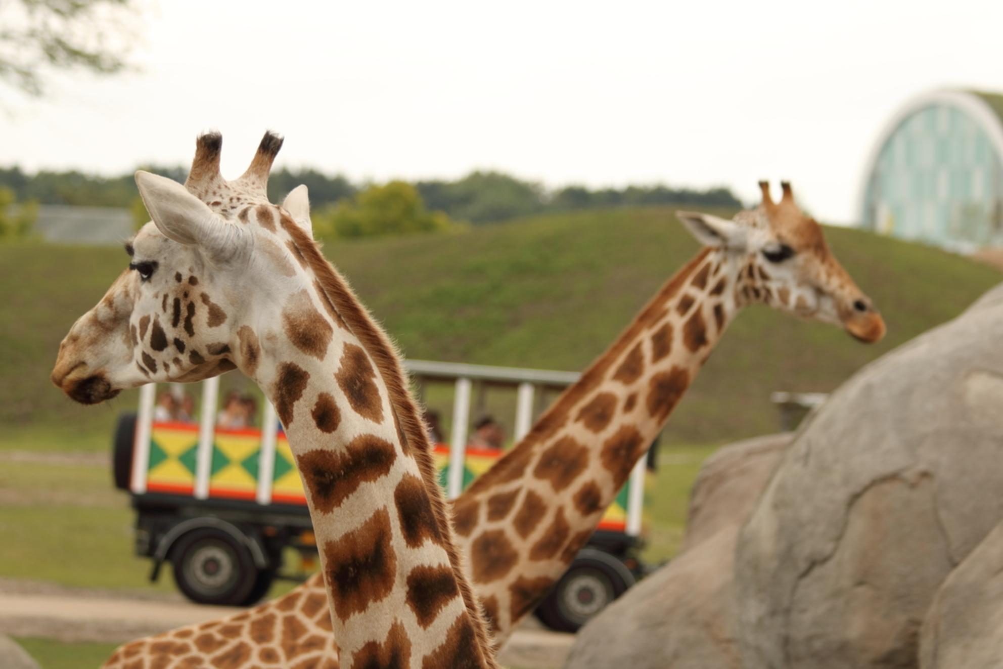 Giraffes gekruist - Je kon deze giraffes van dichterbij bekijken vanuit een safaribusje dat door hun terrein reed. - foto door Jelte1998 op 14-02-2017 - deze foto bevat: dierentuin, natuur, dieren, safari, giraffe, afrika, emmen, giraffes, dierenpark emmen, wildlands - Deze foto mag gebruikt worden in een Zoom.nl publicatie