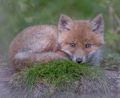 Een heel klein vosje