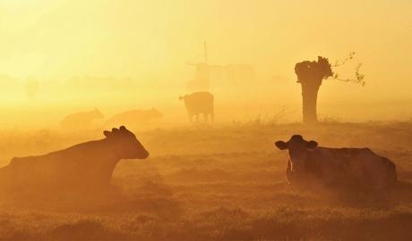 Koeien en knotstoven