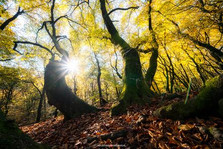 The dancing trees - De bekende dansende bomen in het Speulderbos.  Groeten Frederik Volg [url=http://www.vanderveerfotografie.nl]www.vanderveerfotografie.nl[/url] op  - foto door fveer op 14-11-2019 - deze foto bevat: natuur, licht, herfst, landschap, bos, tegenlicht, bomen