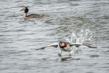 Stuntende Fuut 4-5 - spectaculaire landing op het water