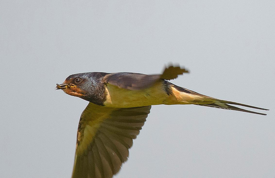 HEBBES 2 - Boerenzwaluw - foto door swimmaster op 15-07-2013 - deze foto bevat: in, jacht, zwaluw, vlucht, flight, hunting, swallow, jagend, Scheervlucht