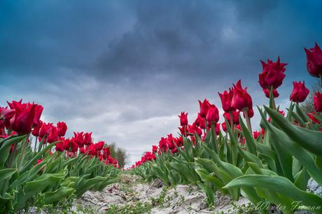 als rode tulpen zullen bloeien