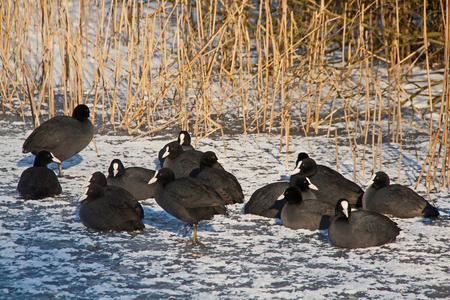 14 Meerkoetjes - Aansluitend bij de vogelbeschermers van gisteren, enkele van hun beschermelingen. Die witte gans in een redelijk lichte achtergrond vond ik best een  - foto door kosmopol op 09-02-2012 - deze foto bevat: winter, gans, kosmopol