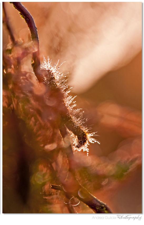 Covered with dew - Een aantal weken geleden was ik s'morgens vroeg op paddenstoelen jacht op het leersumse veld. De zon piepte door de wolken en de honderden spinnenweb - foto door Andrea66 op 07-11-2011 - deze foto bevat: macro, natuur, heide, rups, dauw, leersumse veld, Andrea66, paintedbylight