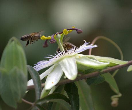 bijen vliegend vastgelegd