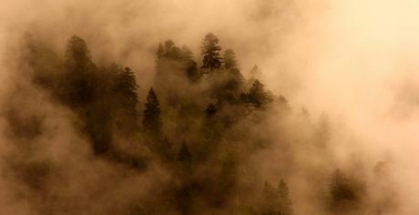 Dennenbomen in de mist
