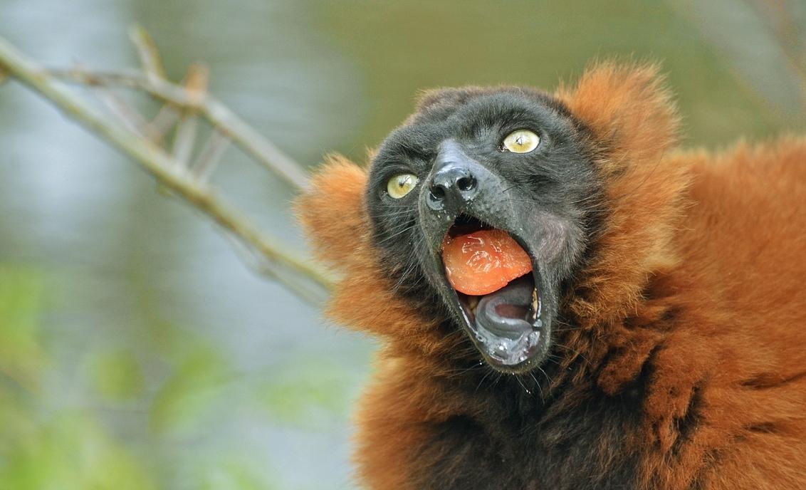hoezo gulzig? - Deze rode vari wilde een halve tomaat in één keer naar binnen werken, hoezo gulzig? ;) - foto door anita7 op 09-04-2015 - deze foto bevat: apen, aap, apenheul, gulzig, vari, Rode Vari