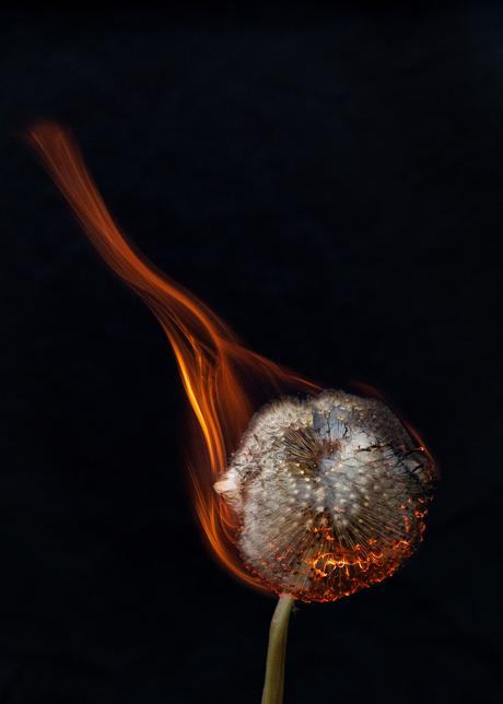 Brandende paardenbloem close-up