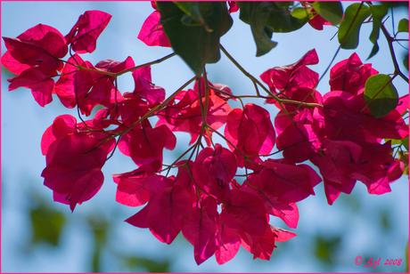 Bougainville II voor pink ribbon