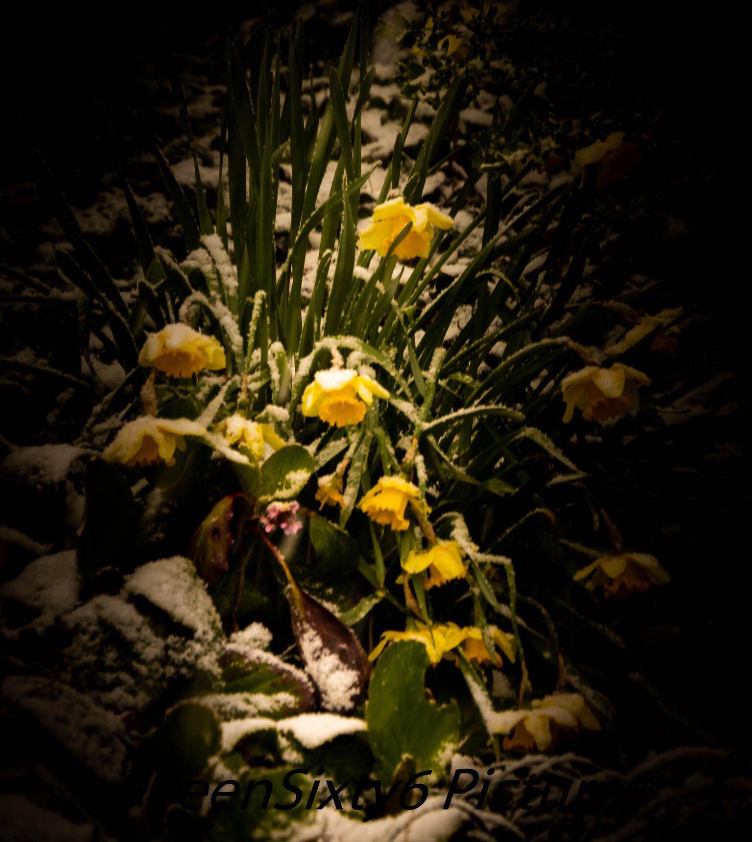 Winter in de Lente - April, na een paar zonnige dagen met temperaturen tot wel 25 graden werden we verrast met een  heuse winterse sneeuwbui wat al snel mooie plaatjes op - foto door 9TeenSixty6 op 12-04-2021 - locatie: Maastricht, Nederland - deze foto bevat: lente, winter, voorjaar, sneeuw, bloem, fabriek, water, bloemblaadje, terrestrische plant, vegetatie, gras, tinten en schakeringen, landschap, kruidachtige plant