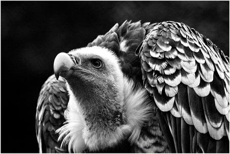 Gier-2- - zwart-wit foto van een gier  - foto door fotohela op 10-04-2021 - locatie: Hoorn 59, 2404 HG Alphen aan den Rijn, Nederland - deze foto bevat: gier, vogel, portret, zwart-wit, bek, scherp, snavel, roofvogel, aaseter, rechthoekig, hoofd, vogel, oog, accipitridae, uil, bek, organisme, zwart en wit, veer, stijl