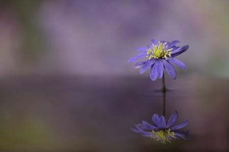 reflectie - paars anemoontje..beetje mee gefrobeld - foto door dylano op 28-04-2021 - deze foto bevat: bloem paars, water reflectie, bloem, fabriek, bloemblaadje, purper, kruidachtige plant, paars, bloeiende plant, elektrisch blauw, eenjarige plant, daisy familie