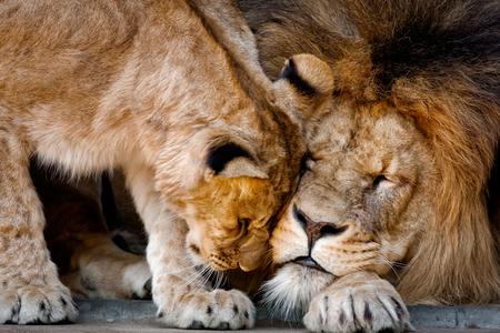 Predator´s love - Leeuwen van dierentuin Artis . - foto door mophotography op 05-01-2013 - deze foto bevat: amsterdam, dierentuin, dieren, artis, leeuwen