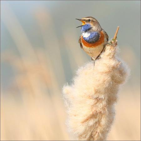 Blauwborst - De blauwborst is terug van zijn overwintering rond het Middellandse Zeegebied en Afrika. Het is een opvallende verschijning in de Nederlandse vogelwe - foto door gaklaasse op 24-03-2021 - deze foto bevat: natuur, dieren, vogel, wildlife, blauwborst