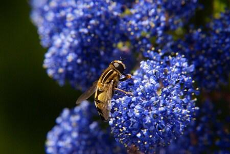 Pretty on Blue - Gelukking statief werkt, eindelijk een Macro die scherp is. - foto door TrudyH op 21-05-2009 - deze foto bevat: macro, blauw, bloem, wesp, bij, vlieg, zweefvlieg, bloemen, insect, inscecten, trudyh