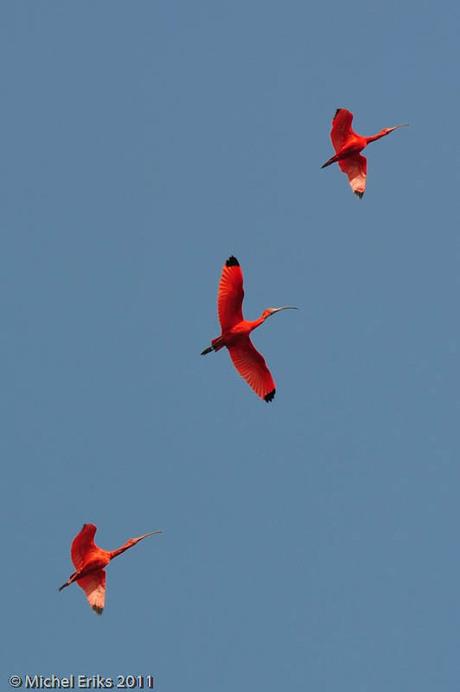 Rode ibissen