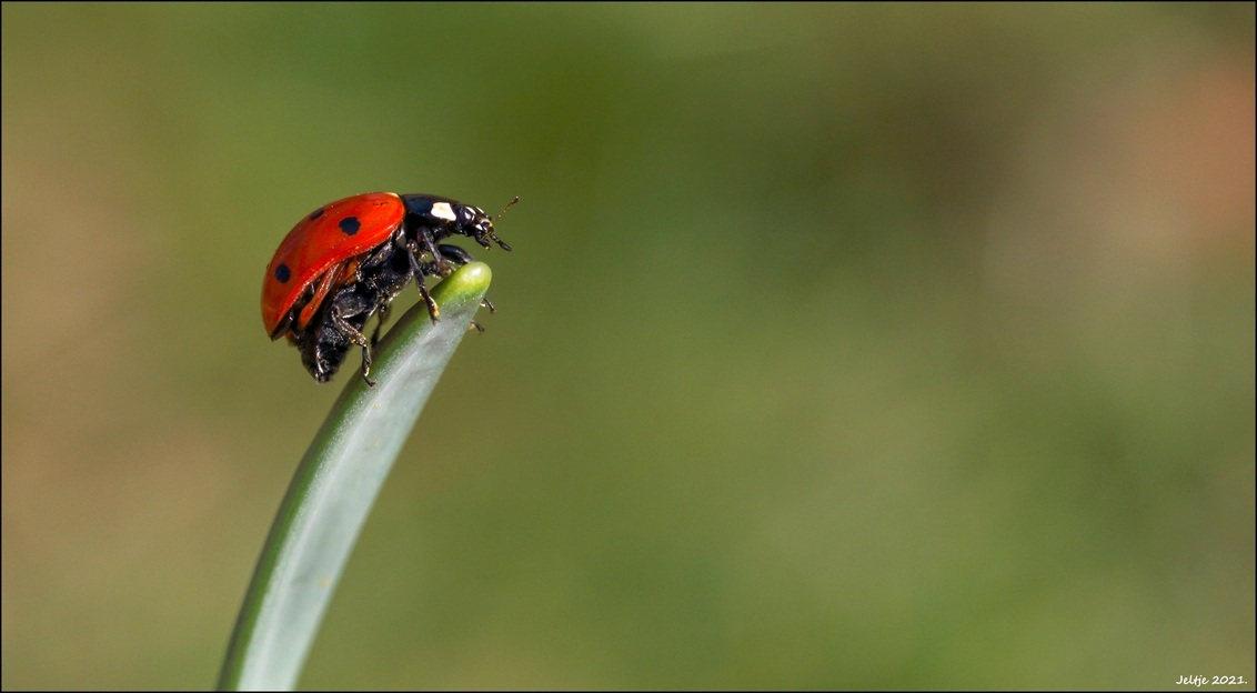 Lieveheersbeestje. - - - foto door ikjel op 24-02-2021 - deze foto bevat: groen, natuur, lieveheersbeestje, insect