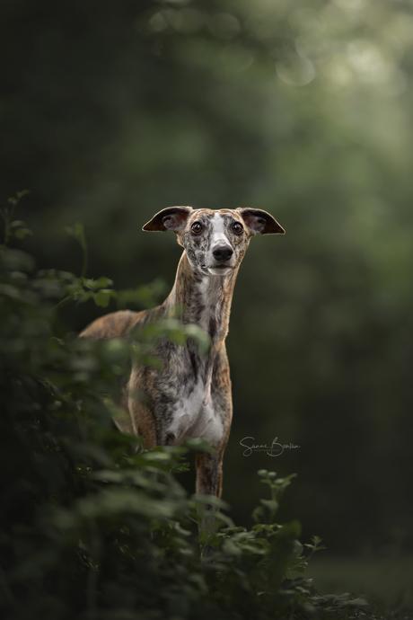 Whippet in het bos