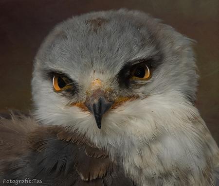 De Australische grijze wouw. - - - foto door Taswor op 18-01-2019 - deze foto bevat: vogel