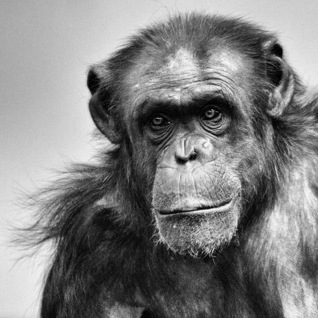 Chimpansee - Mentoraat 4