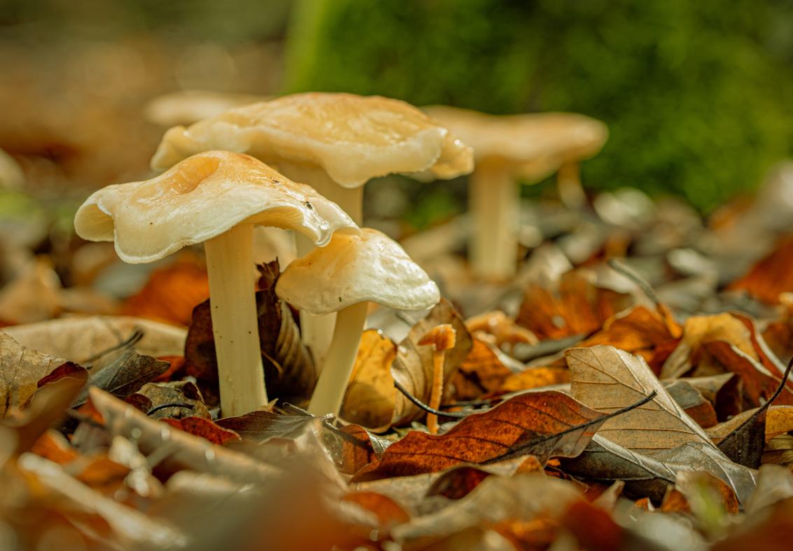 White Beauty on leave bed - ik zelf vind de bladerend op de ondergrond erg mooi . geeft een mooie herfst sfeer. weet niet welke dit is een zwam of een padden stoel. was zelf erg - foto door sipmaurer op 08-11-2020 - deze foto bevat: groen, kleuren, macro, wit, natuur, geel, paddestoel, herfst, herfst sfeer, bladerend, geelachtige