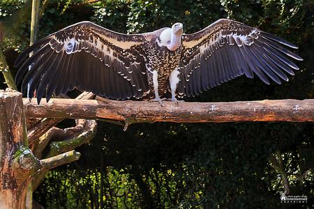 Avifauna - Deze uitslover stond te flashen in het vogelpark Avifauna ... - foto door amsterdamned_zoom op 01-12-2019 - deze foto bevat: gier, holland, nederland, avifauna, alphen, vogelshow, amsterdamned, alphen aan den rijn, Zuid Holland, Vale Gier