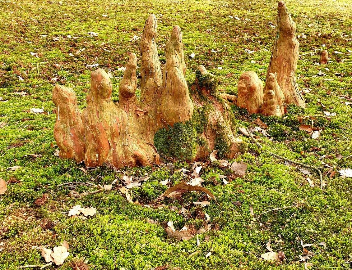 Familie portret - Ook dit is overcingel  Er staan eeuwen oude bomen waar van de wortels naar boven komen. Het zijn net kunstwerken gr Bets - foto door cgfwg op 28-02-2021 - deze foto bevat: boom, natuur