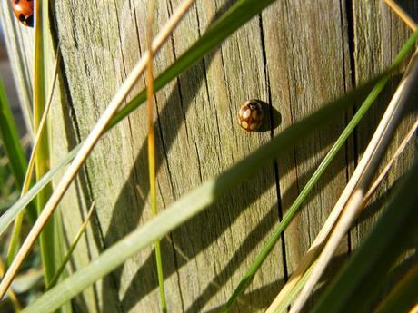 Lieveheersbeestje met wel heel andere kleuren dan de gewone..
