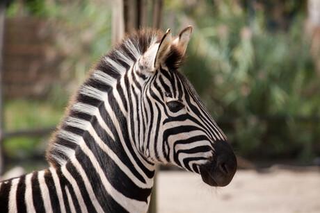 Zebra in Blijdorp