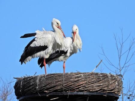 DSCN9150 - Een beetje verliefd - foto door eyevieuw op 26-02-2021 - deze foto bevat: natuur, vogel, ooievaarsnest