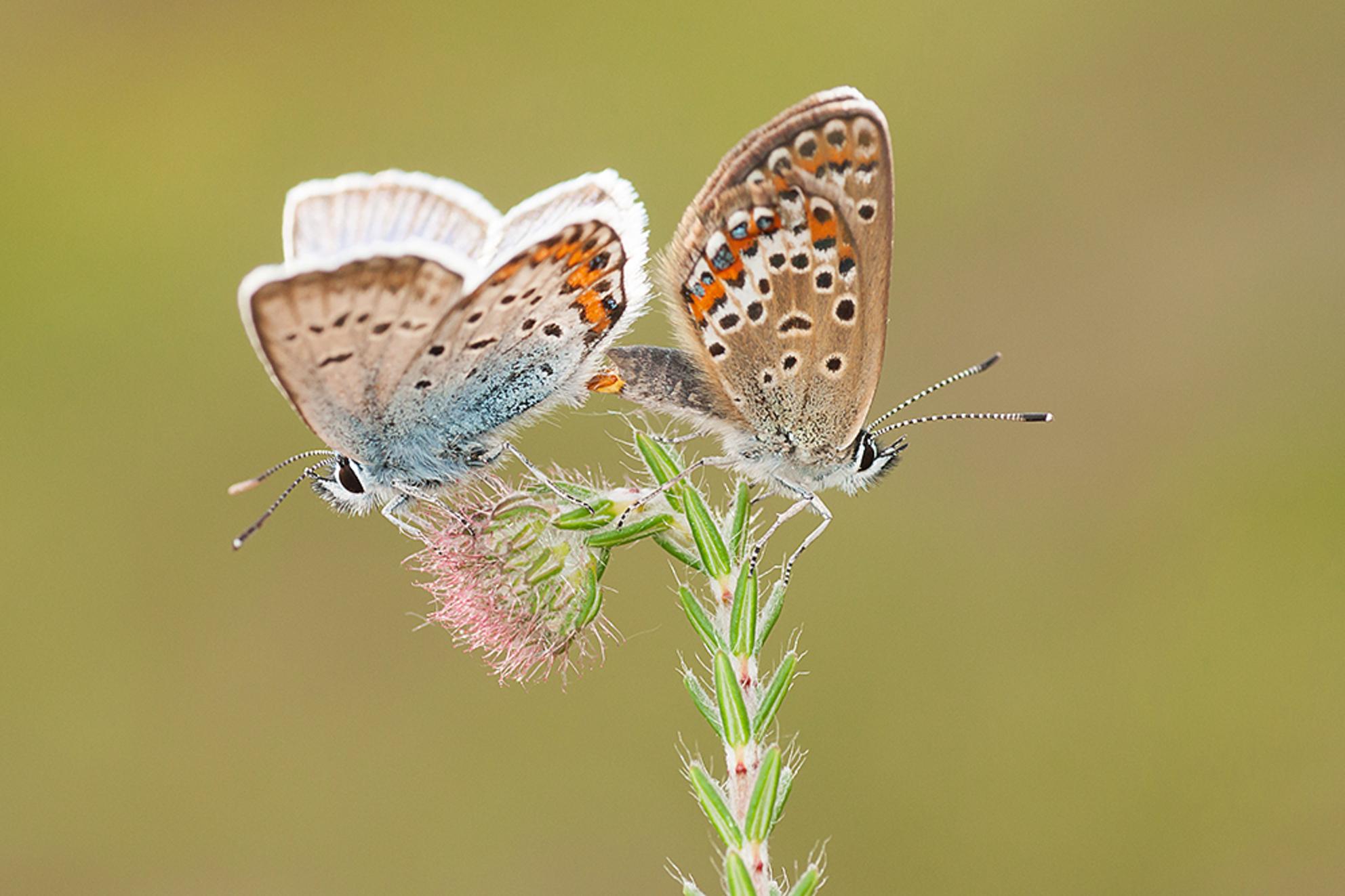Love on Top! - Gisteren op pad geweest om deze mooie kleine vlindertjes op de gevoelige plaat te leggen. Deze parende Heideblauwtjes waren zo druk met elkaar, dat i - foto door tom kruissink op 16-06-2018 - deze foto bevat: macro, natuur, vlinder, blauwtje, heide, dopheide, zomer, insect, sex, intiem, paren, dagvlinder, heideblauwtje - Deze foto mag gebruikt worden in een Zoom.nl publicatie