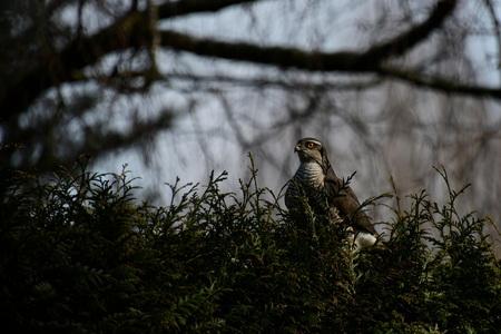 Ook op zondag - Het bevalt haar denk ik goed, bij ons in de tuin, want zondag was ze er weer. Ze is niet eens schuw. Dit keer werden we op haar komt geattendeerd do - foto door Dieke Steeg op 01-03-2021 - deze foto bevat: boom, natuur, tuin, blad, dieren, vogel, buizerd, sperwer, roofvogel, nederland, wildlife, bezoek
