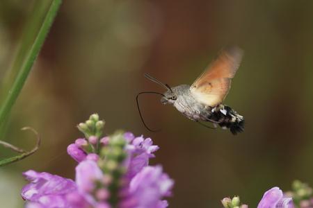 blij makertje - met deze foto ben ik erg blij. de hele zomer komt de kolibrievlinder al in mijn tuin, maar als ik met mijn fototoestel kom is het vertrokken of vert - foto door majvangooreg op 29-08-2009 - deze foto bevat: Koliebrie vlinder
