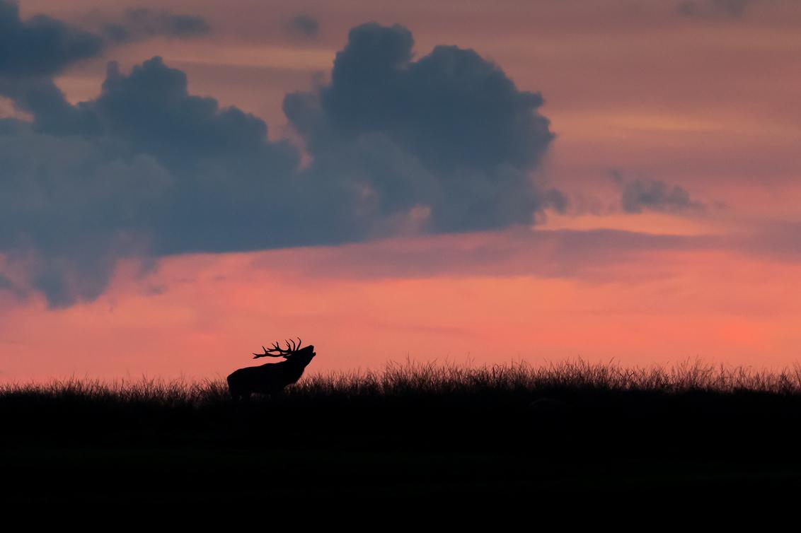 burlend hert bij zonsondergang - - - foto door robcbatenburg op 12-07-2018