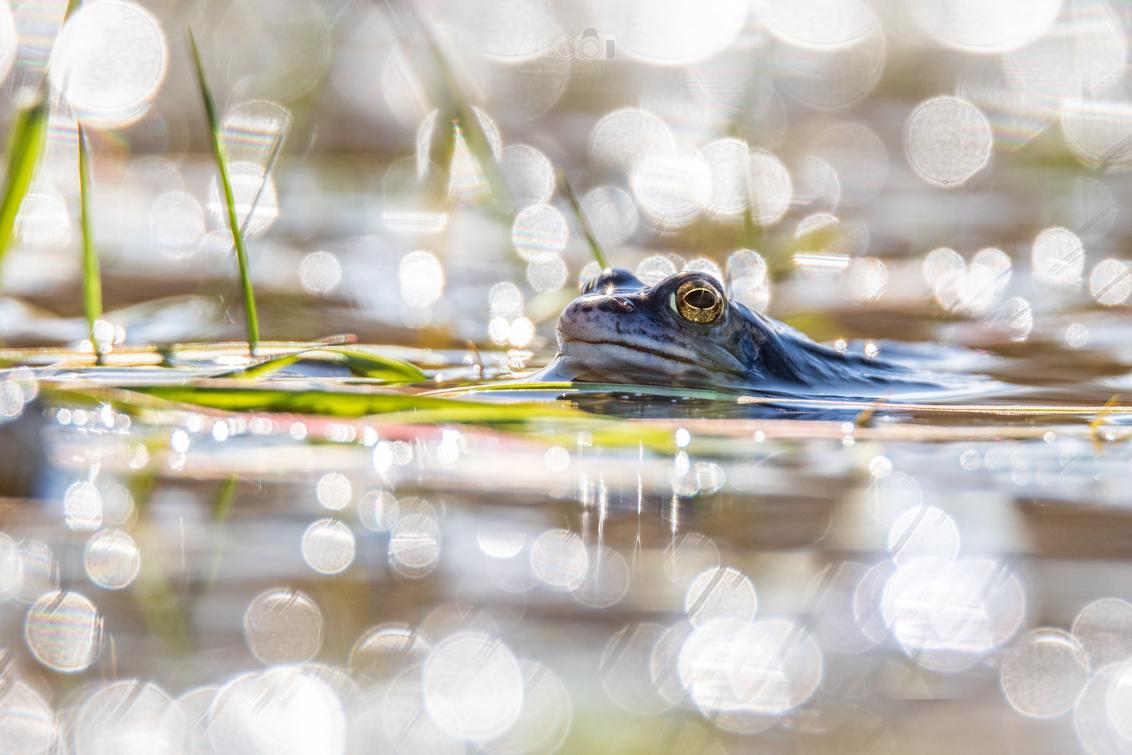 Heikikker in zijn bubbels - Een heikikker wordt in het vroege voorjaar een aantal dagen per jaar fel blauw. Je moet er dus snel bij zijn om een foto te maken. Foto genomen op la - foto door wilcovanderlaan op 05-04-2021 - deze foto bevat: kikker, dieren, voorjaar, heikikker, amfibieen, blauwe kikker, troegwold