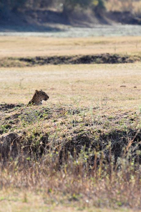Loerend luipaard