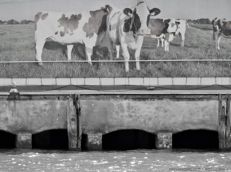 Koeien uit de sloot!!