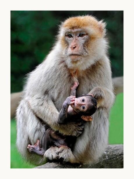 Moederaap met baby