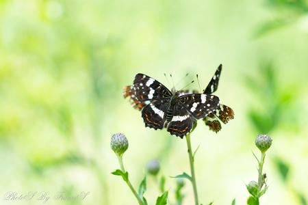 Vlinder carrousel - Overdag macro foto's maken is niet echt makkelijk. Toch een poging gedaan en met het Helios lensje het bos ingelopen. Daar is veel schaduw maar de in - foto door Francis-Dost op 04-07-2018 - deze foto bevat: groen, macro, bloem, natuur, vlinder, licht, zomer, insect, dof, bokeh
