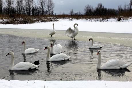 Sneeuw witte zwanen
