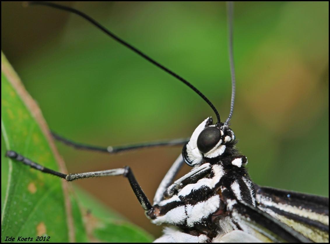 mooie vlinder - De vlindertuin in harskamp is erg mooi. Daar zat deze vlinder te poseren. - foto door idekoets op 29-09-2012 - deze foto bevat: vlinder