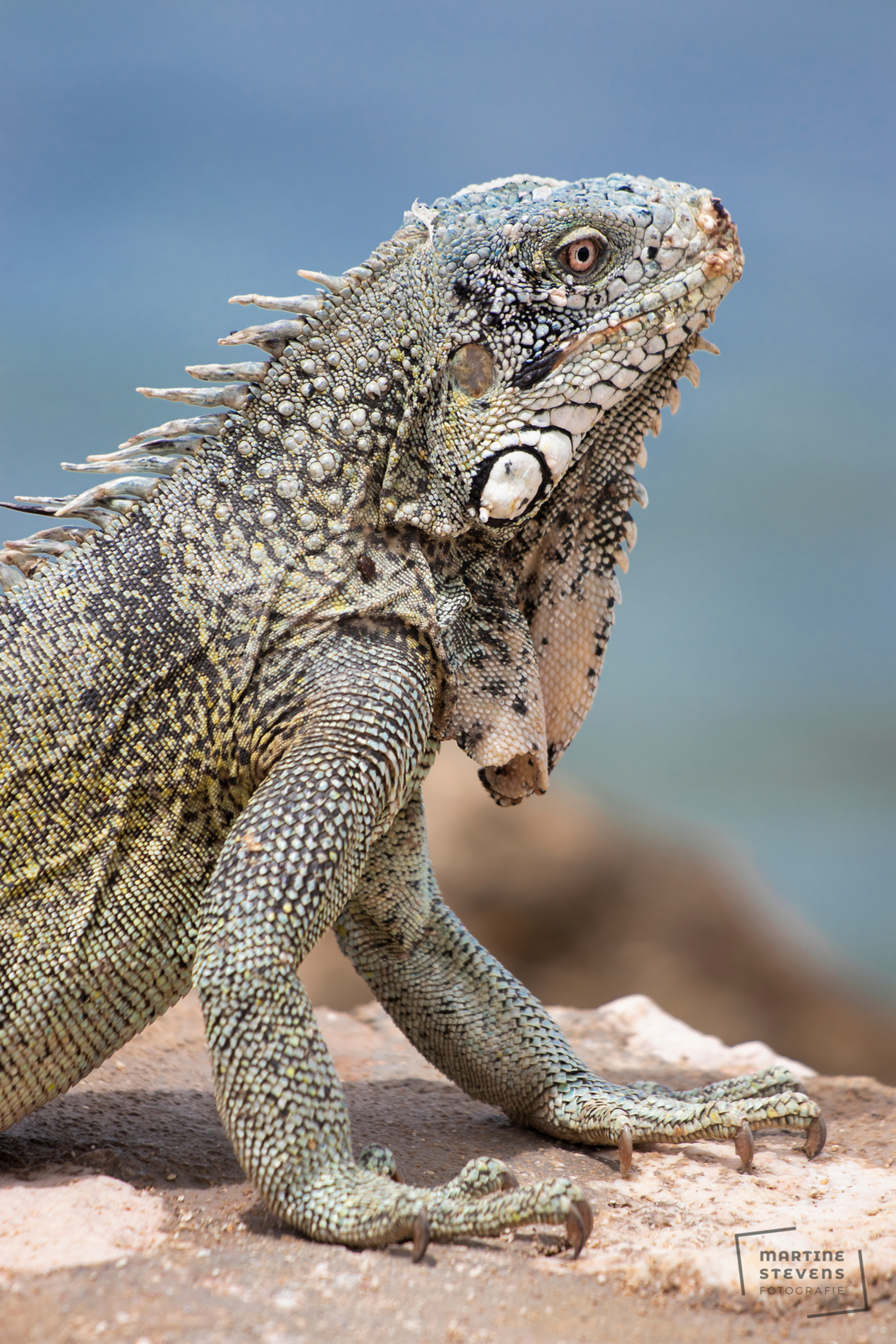 Look at me - Foto genomen op het strand op Curaçao - foto door MartineStevens op 03-08-2020 - deze foto bevat: dieren, leguaan, reptiel - Deze foto mag gebruikt worden in een Zoom.nl publicatie