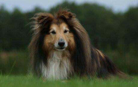 Honden model