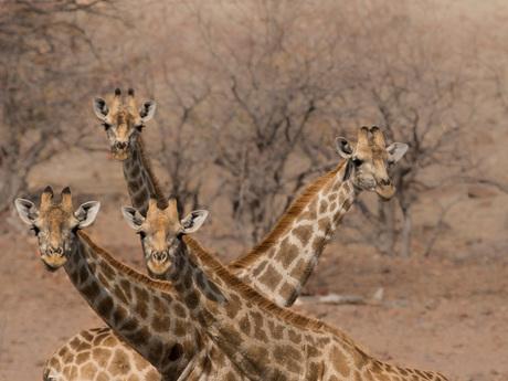 Giraffen nekken
