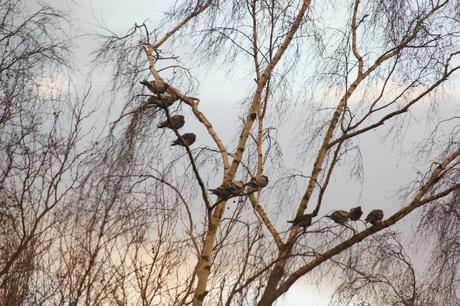 De duiven.