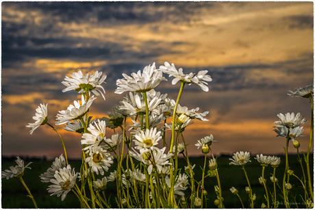 Margriet bij zonsondergang