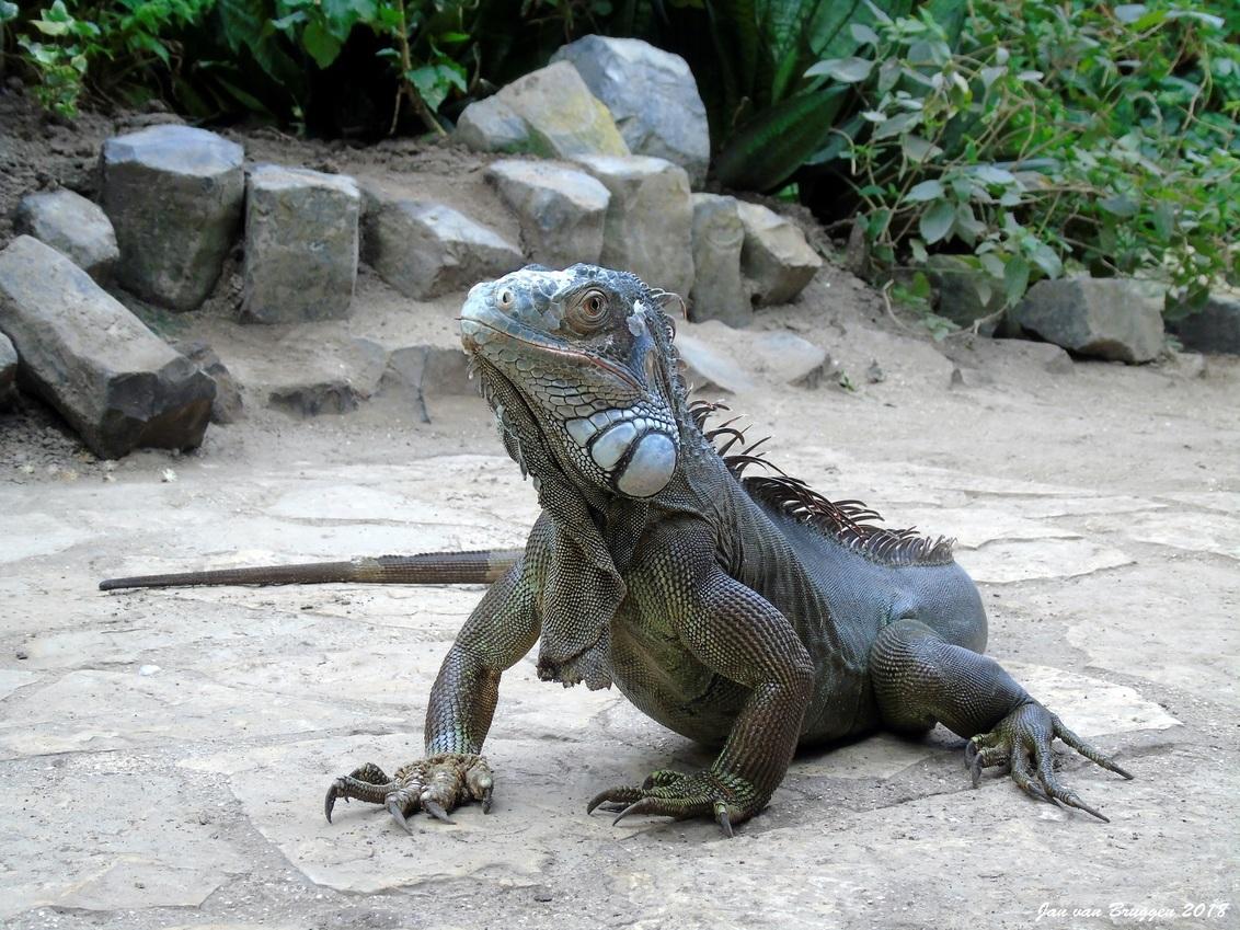 Iguana iguana - Afgelopen zaterdag een dagje in de vlindertuin in Luttelgeest doorgebracht, maar Schrik niet als je tijdens het volgen van een kleurrijke vlinder ope - foto door Redfox16 op 27-03-2018 - deze foto bevat: orchideeenhoeve, iguana iguana, jvbfotografie