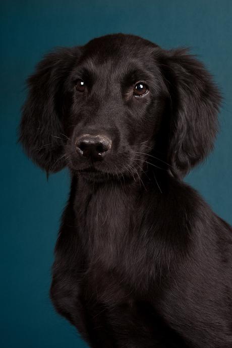 Flatcoated retriever pup